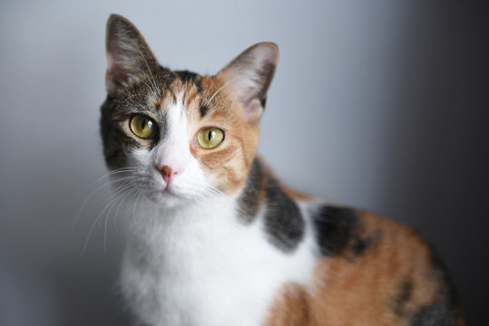 Close up of a calico cat