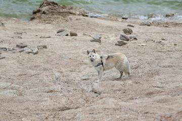 American Wolfdogs and Czech Wolfdogs playing