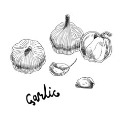 Vector hand drawn illustration with garlic on white background