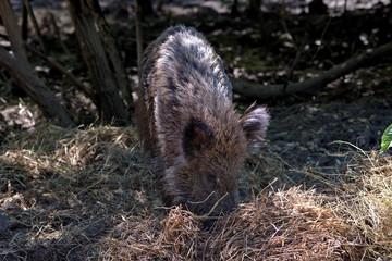 Wild boar, Szarvas, Hungary