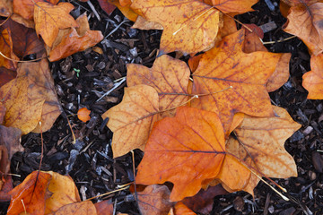 Vibrant newly fallen leaves on the ground during a rainy day in the Pacific Northwest