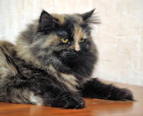 Beautiful fluffy cat tortoiseshell