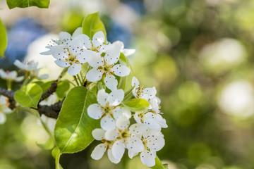Spring blossom pear tree, scientific name Pyrus Communis