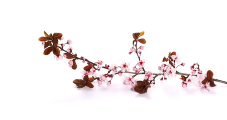 Plum blossom branch, isolated on white background