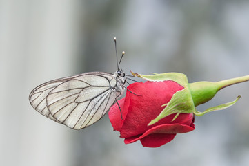 butterfly aporia Crataegi sitting on a red flower