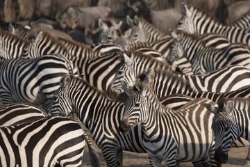 Wall Murals Zebra Kenya, Africa