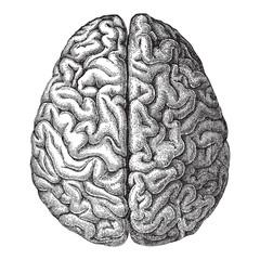 Human brain - vintage illustration
