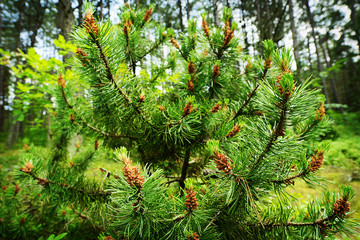 Scots or scotch pine Pinus sylvestris branches with young male pollen flowers on a tree growing in evergreen coniferous forest. Pomerania, Poland. Selective focus.