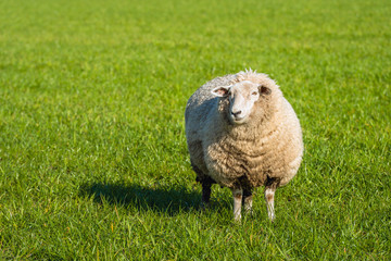 Fond de hotte en verre imprimé Sheep Pregnant sheep in thick winter coat standing in the fresh green grass and looking at photographer