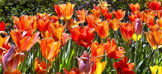 Aluminium Prints Tulip Spring Time Tulips