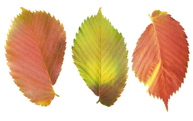 Set of elm leaves isolated on white background.
