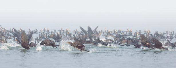 Cormorants hunting on Marano's lagoon, Friuli, Italy