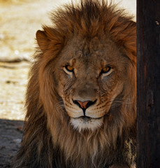 Lion King of Beasts Portrait Head Shot