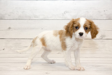 Cavalier King Charles Spaniel puppy on white wood backdrop