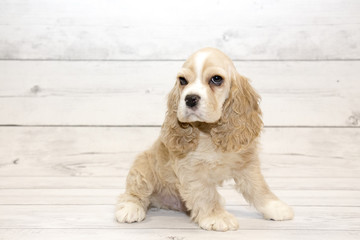 Cocker Spaniel puppy on white wooden backdrop