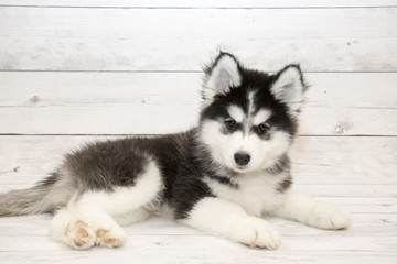 Siberian Husky puppy on white wooden backdrop
