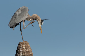 Great Blue Heron scratching on top of dead palm tree