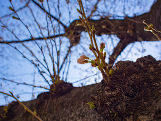 桜のつぼみと青空