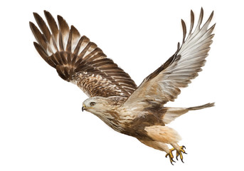 Hawk flying hand draw and paint color on white background vector illustration.