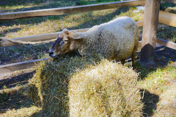 Sheep in a pen at the fair in the village