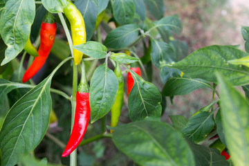 Canvas Prints Hot chili peppers Colorful chili plant background
