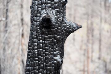 Nahaufnahme eines verkohlten Baumstamms nach einem Waldbrand