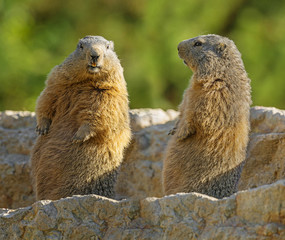 Wall Mural - marmots on a medow
