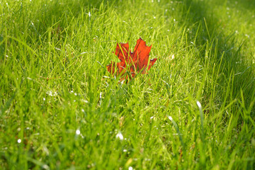 orange foliage on fresh green grass. Spring background. park and nature