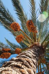 view into the sky through a date palm close-up shot