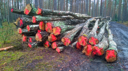 Harvest of timber in the forest. Firewood as a renewable energy source.