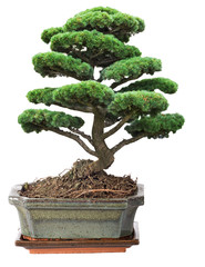 green bonsai pine tree in pot