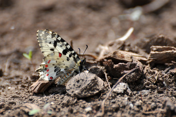 Allancastria cerisyi, the eastern festoon butterfly. butterfly which flying only in spring