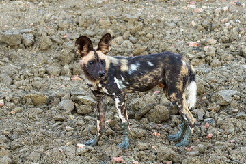 Wild Dogs, African painted dogs, Cape Hunting Dogs, Painted wolves