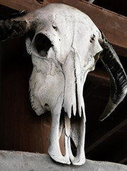 Beautiful portrait of death, cow skull in thai house, no smile