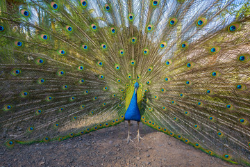 A male peacock showing off it's colors