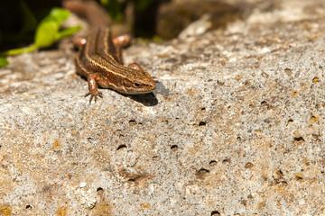 lizard that heats the sun