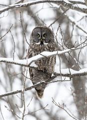 Great Gray Owl in Winter