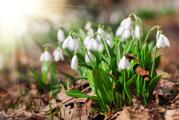Beautiful snowdrops in sunny spring forest on bokeh background