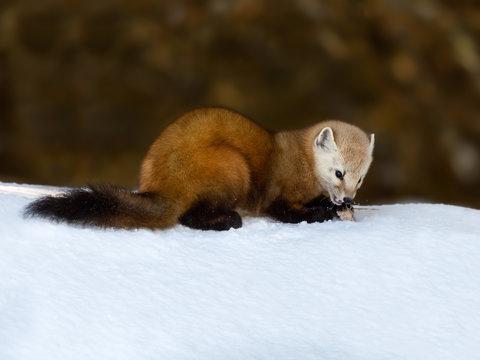 Pine Marten Sitting on Snow in Winter