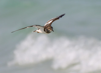 Ruddy Turnstone in Flight