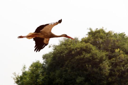 North Africa,Morocco,Capital Rabat. Stork in flight