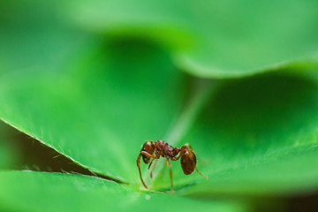 Orange ant sitting on the green leaf. Macro Photo