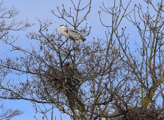 Airone cenerino in piedi sugli alberi che osserva lontano