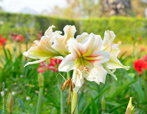 Hippeastrum amaryllis white flowers photo libre de for Acheter amaryllis