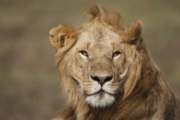 Giovane leone in primo piano