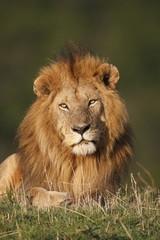 Leone maschio in primo piano