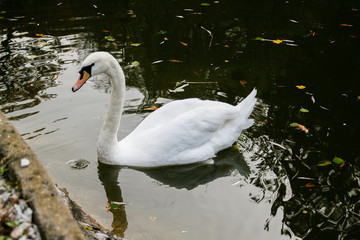 The swan drinks water, beaks drip from the beak