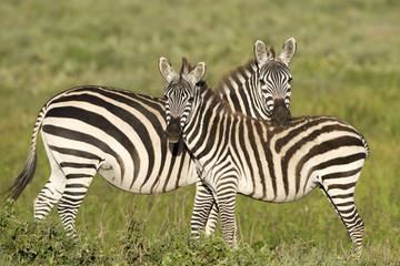 Zebre affiancate