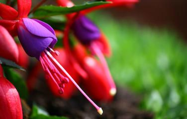 'fucsia in fiore'