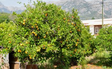 Orangenbaum in einem Garten auf Mallorca